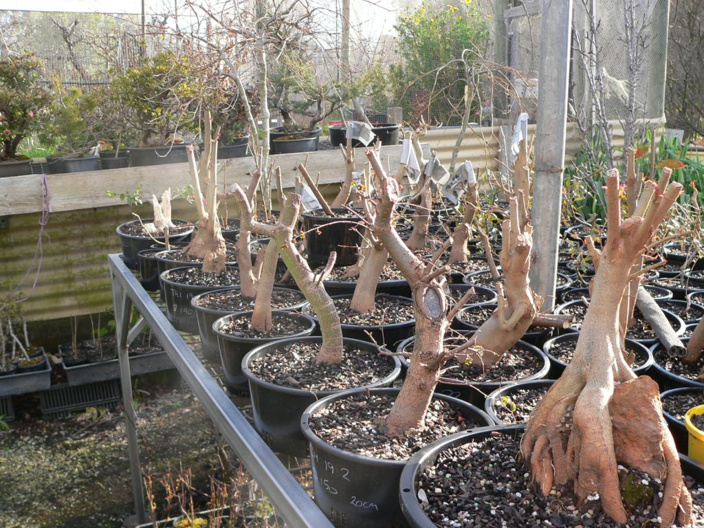 Field Grown Pre Bonsai Stock Shibui Bonsai